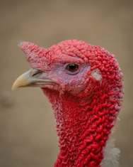 turkey-profile-picture-bird-53460
